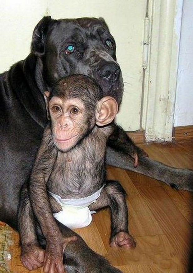 Orphaned Baby Chimpanzee Gets Adopted by Dog - The chimp and dog are inseparable.