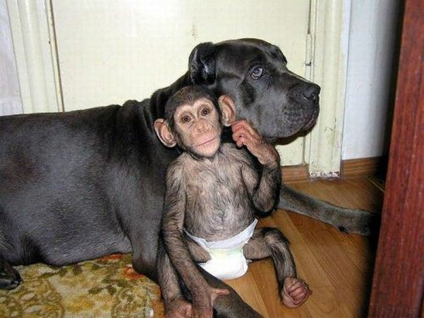Orphaned Baby Chimpanzee Gets Adopted by Dog.