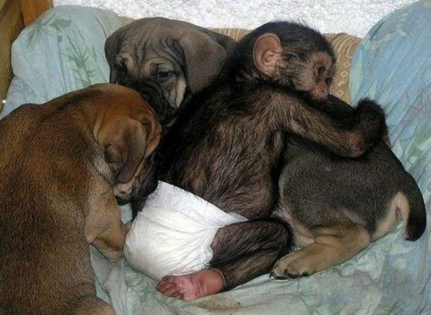 Orphaned Baby Chimpanzee Gets Adopted by Dog - Awwww sweet.