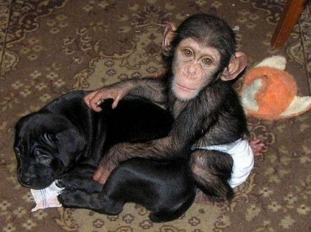 Orphaned Baby Chimpanzee Gets Adopted by Dog - He is right at home with his new family.