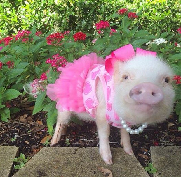 "Cute Mini Pigs Priscilla and Poppleton - ""I feel pretty, Oh, so pretty, I feel pretty and witty and bright!"""
