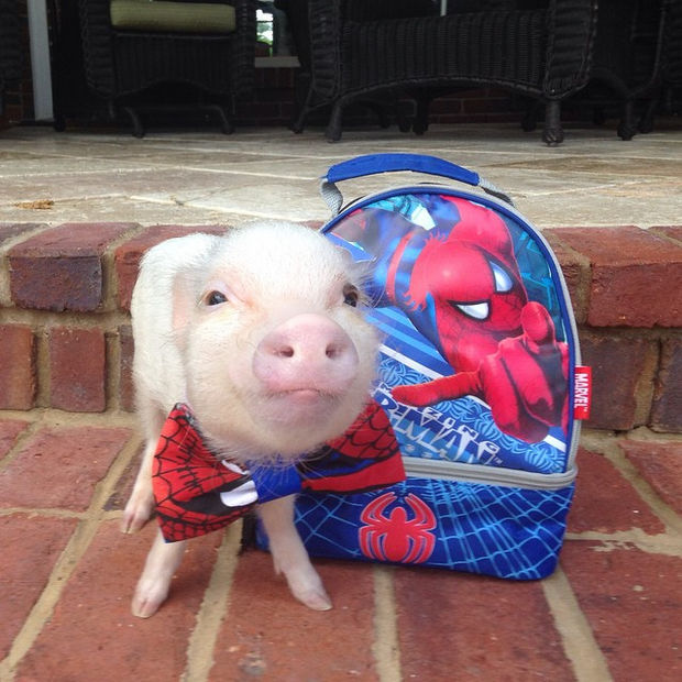 Cute Mini Pigs Priscilla and Poppleton - Poppleton is stylin' with his Spiderman tie and dufflebag.