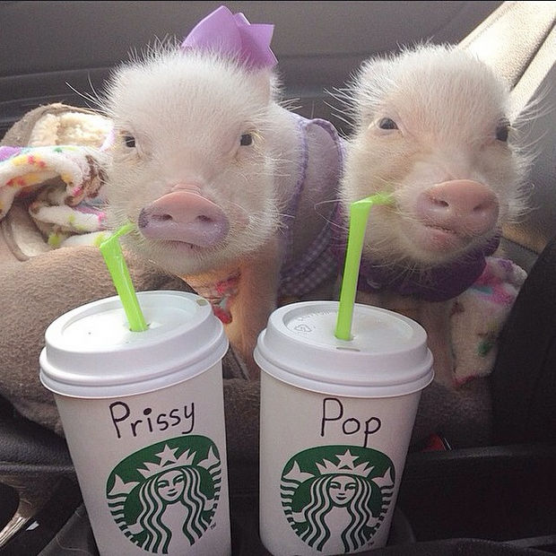 "Cute Mini Pigs Priscilla and Poppleton - ""This is a perfect day. Our favorite Starbucks drink and the barista spelled our names right!"""