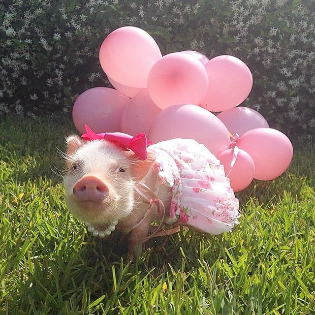 "Cute Mini Pigs Priscilla and Poppleton - ""I'm letting these balloon float up into the sky as a gift for my friend Diesel up in heaven"""