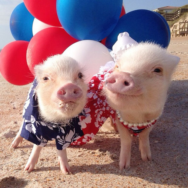 "Cute Mini Pigs Priscilla and Poppleton - ""Feeling patriotic with red, white and blue."""