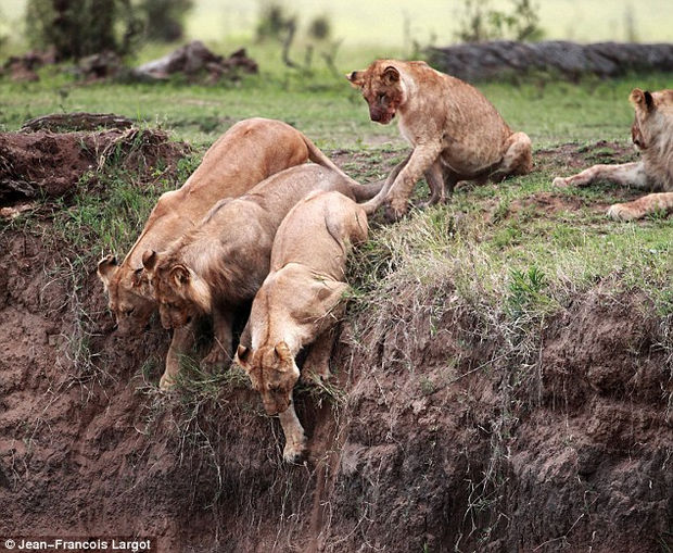Other lionesses attempt to help but only his mother will risk her life to save her cub. A mother's bond is stronger than anything.
