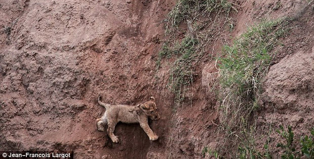 Lion Cub Hangs On for Dear Life to the Side of a Cliff
