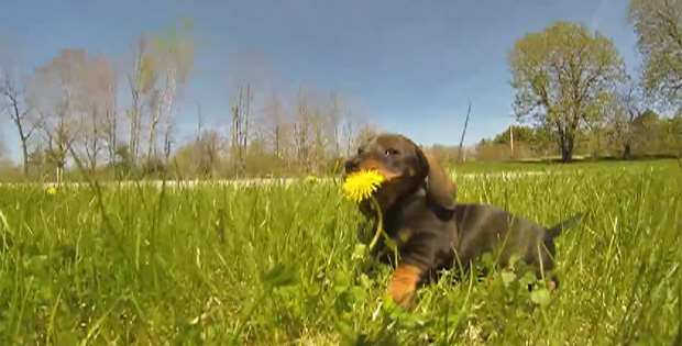 Puppies playing with GoPro camera, and running to Tchaikovsky's The Nutcracker.