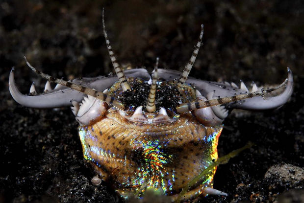 17 Weird Fish That Look Like Extra-Terrestrials - Bobbit Worm.