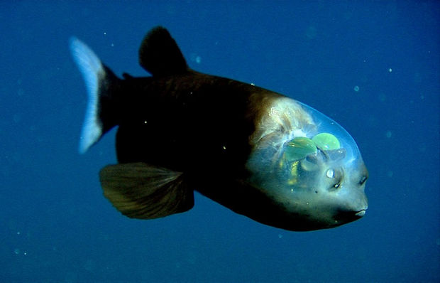 17 Weird Fish That Look Like Extra-Terrestrials - Barreleye.