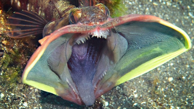 17 Weird Fish That Look Like Extra-Terrestrials - Sarcastic Fringehead