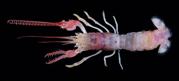 17 Weird Fish That Look Like Extra-Terrestrials - Terrible Claw Lobster
