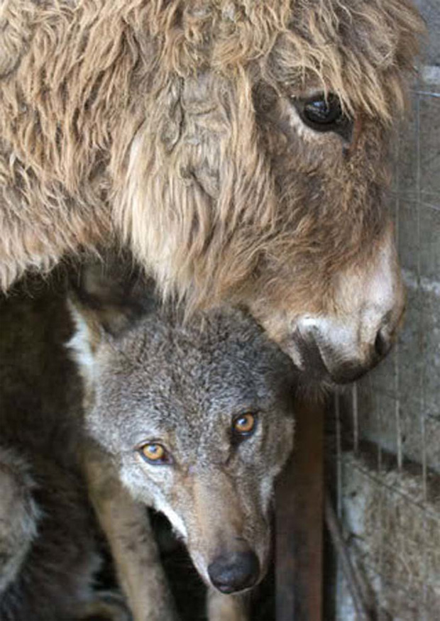 Unlikely Friends - If either animal was taken out of the cage, the caged wolf or donkey would cry out to be rejoined with his friend.