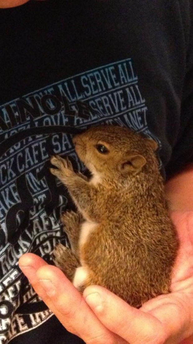 Baby Squirrel Found in Bag of Mulch - 6 weeks: Feeling playful and fully aware of his surroundings.
