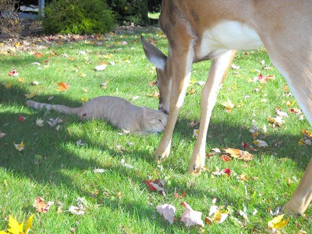 Surprisingly, this sweet little deer shows up every morning to play with this cuddly cat.