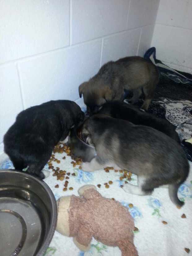 Hunter Finds Puppies in a Field - The dogs are now recovering at the Battlefords Humane Society.