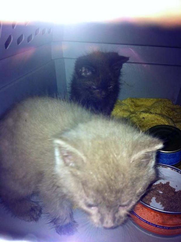 Now that they are safe, the kittens are soon on their way to the veterinarian for a quick checkup to keep them healthy.