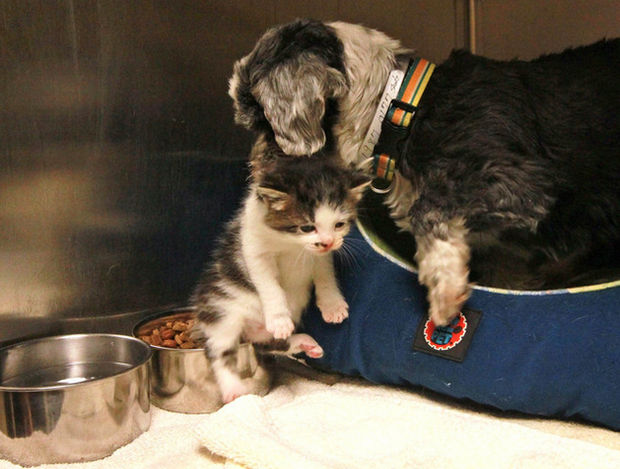 Shih Tzu Cares for Kitten - They were brought to a shelter and she cared for the cat like it was her own.