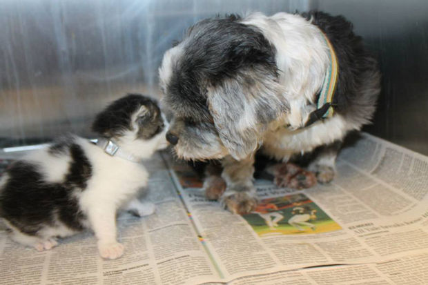 Shih Tzu Cares for Kitten - Animals are amazing and show their love unconditionally.