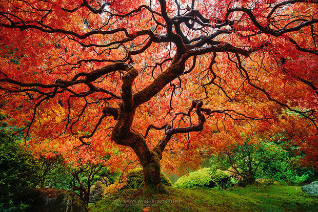 Fall colors of this beautiful Japanese Maple.
