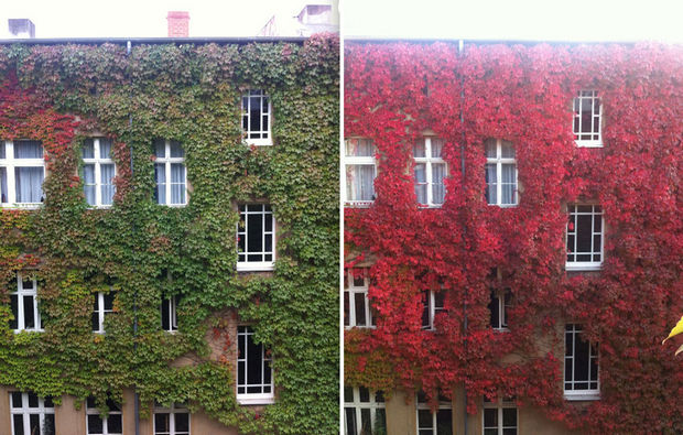 14 Fall Foliage Landscapes - Apartment Building with Crimson Vines and fall colors.