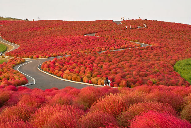 Fall colors at Hitachi Seaside Park - Japan.