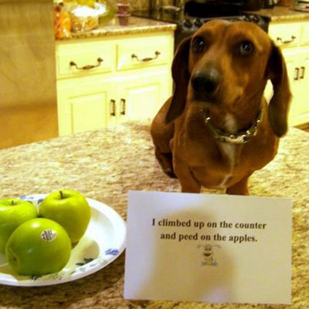 32 Hilarious Dog Shaming Photos - A good reminder to always wash your fruit.