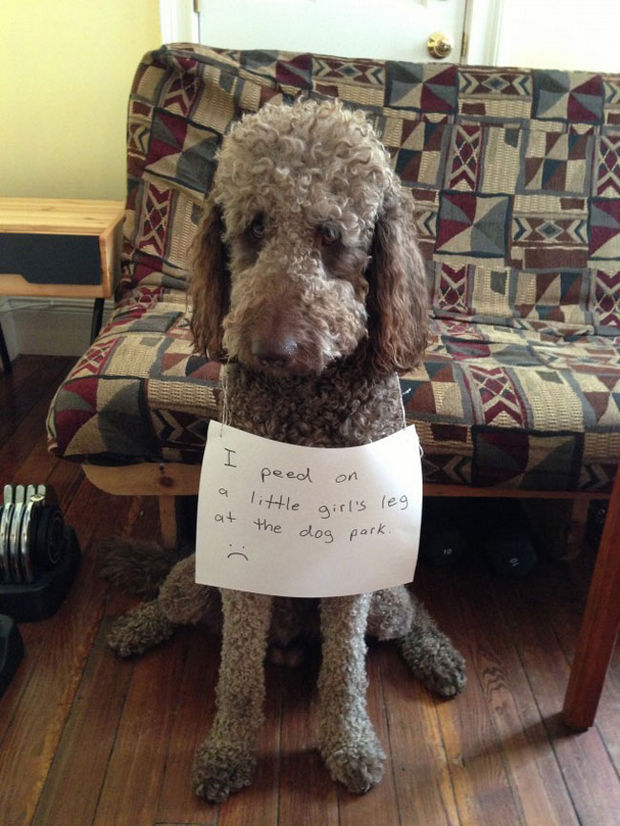 32 Hilarious Dog Shaming Photos - In his defense, it looked like a fire hydrant.