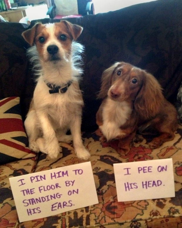32 Hilarious Dog Shaming Photos - It's only in self-defense.