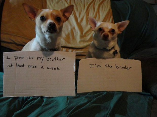 32 Hilarious Dog Shaming Photos - It's never easy being the younger brother.