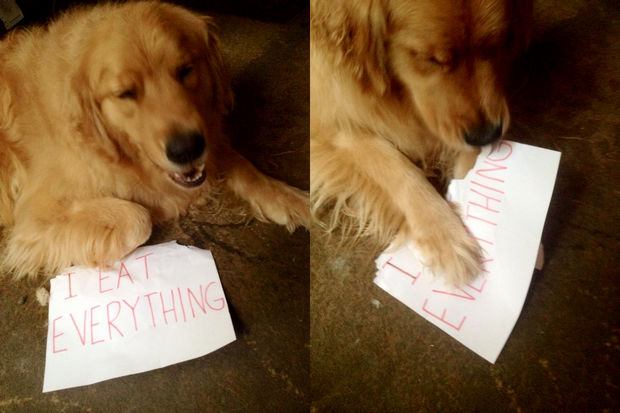 32 Hilarious Dog Shaming Photos - Yep, he does eat everything.