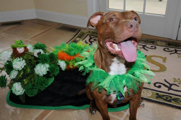 What a sweet baby! So happy for the love and care that the Scavelli family has given to Patrick the Pit Bull.