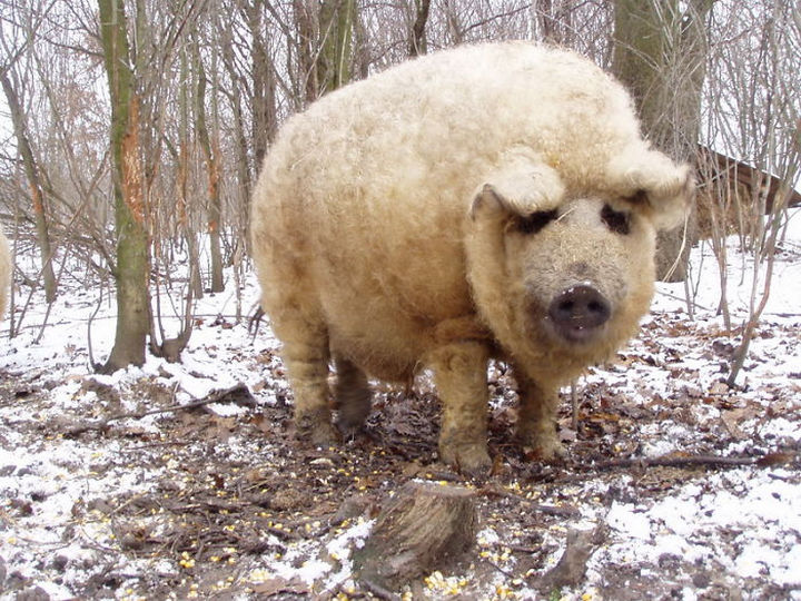 17 Animals That Have Luscious Hair - This breed of pig is named Mangalica.