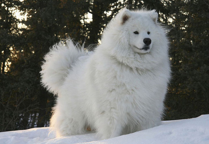 17 Animals That Have Luscious Hair - This Samoyed looks so majestic...and warm!