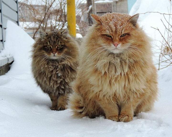 17 Animals That Have Luscious Hair - My cat allergy is acting up just looking at these Siberian cats.