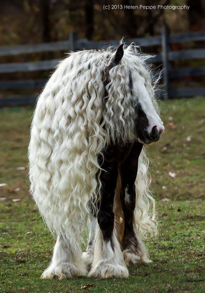 17 Animals That Have Luscious Hair - This beautiful Gypsy Vanner horse belongs in a fairy tale. Gorgeous.