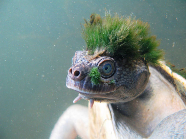 17 Animals That Have Luscious Hair - Punk rockin' Mary River turtle doesn't have hair but actually has algae growing on its head.
