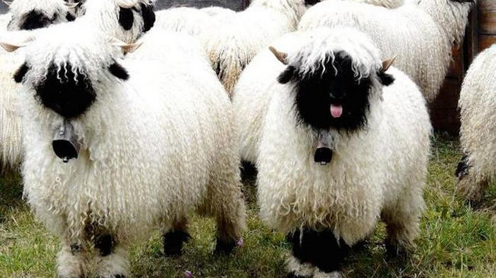 17 Animals That Have Luscious Hair - Valais sheep are so cute I'll count them from now on to lull myself to sleep.