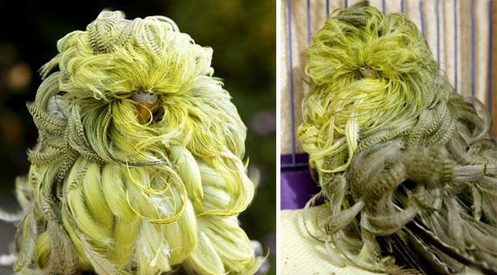 17 Animals That Have Luscious Hair - Duster budgies have curled feathers caused by a rare mutation.