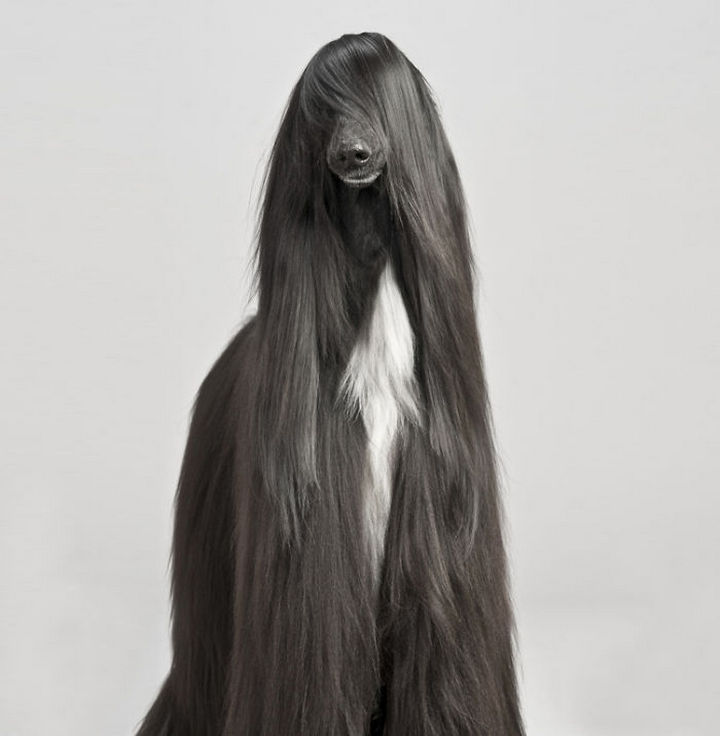 17 Animals That Have Luscious Hair - This Afghan hound is G-O-R-G-E-O-U-S. Paris Hilton would be jealous.