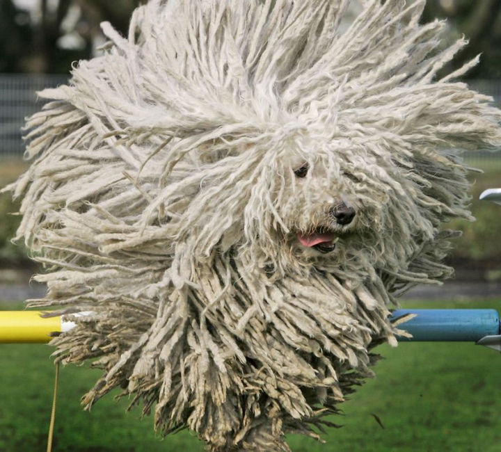 17 Animals That Have Luscious Hair - A herding breed, Puli dogs would also be great at cleaning up spills.