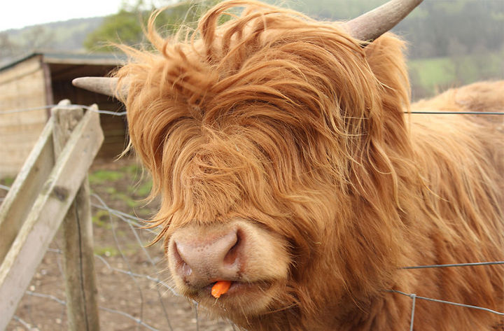 cow hair styles 17 animals with hair and hairstyles 9207