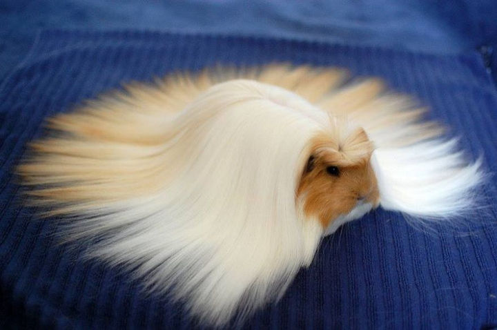 17 Animals That Have Luscious Hair - I could comb this guinea pig all day.
