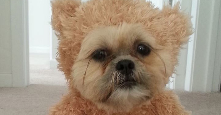 Dog Has the Funniest Costume and Dressed as a Teddy Bear.