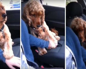 Dog Is Afraid Riding in the Car but His Owner Holds His Paw.