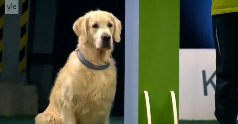 Funny Golden Retriever Fails Agility Test on Finnish TV Show.