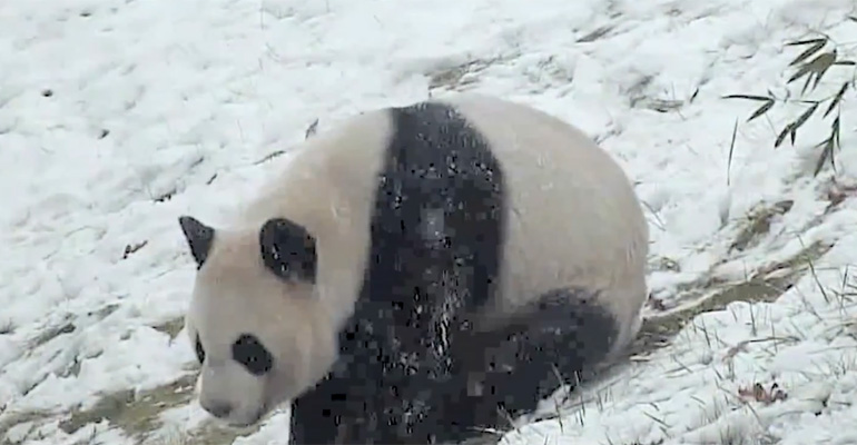 Panda plays in Snow.