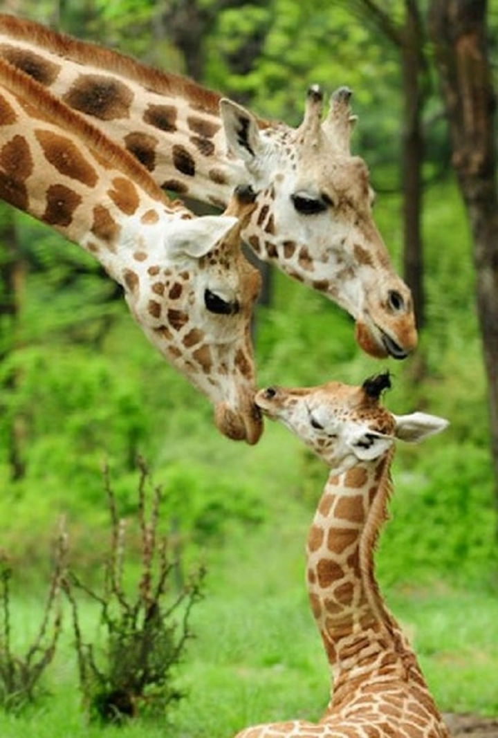 20 Baby Animals and Their Families - Giraffes taking care of their young calf.