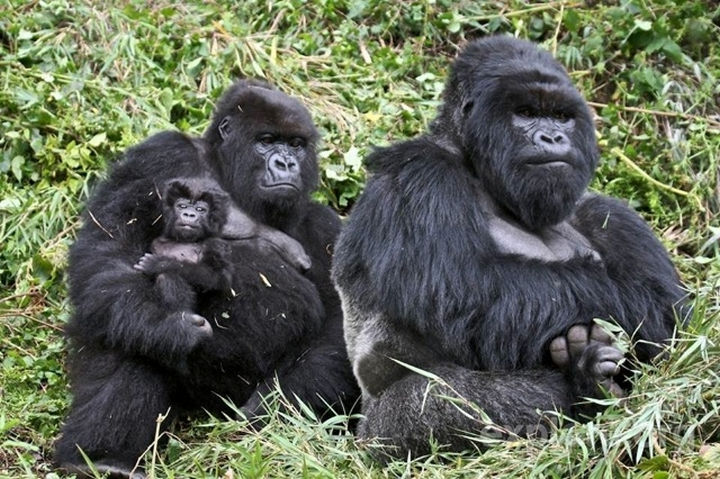 20 Animal Families - Gorillas and their infant.