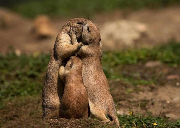 20 Animal Families - A family of gophers in a group hug. Cute!